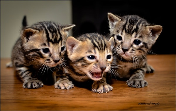 40 Impossibly Beautiful Pictures of Bengal Kittens 30
