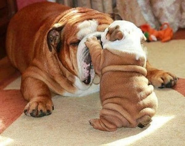 40 Simply Great English Bulldog Puppies Pictures 16