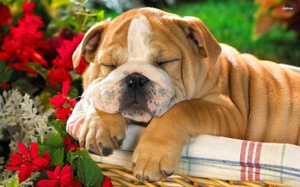 40 Simply Great English Bulldog Puppies Pictures 25