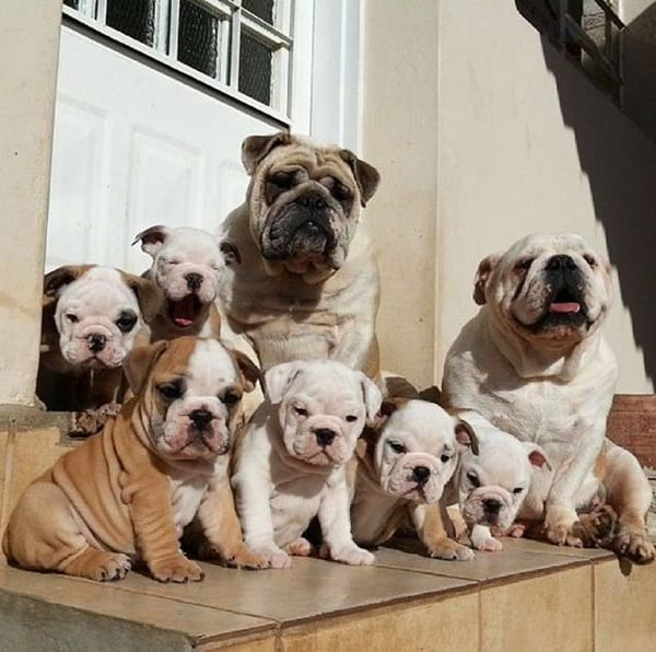 40 Simply Great English Bulldog Puppies Pictures 27