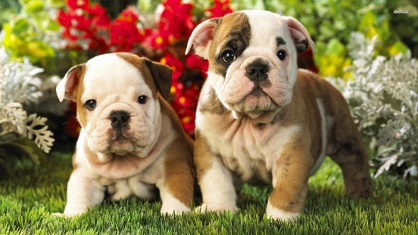40 Simply Great English Bulldog Puppies Pictures 31