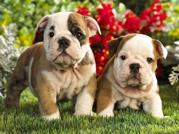 40 Simply Great English Bulldog Puppies Pictures 5