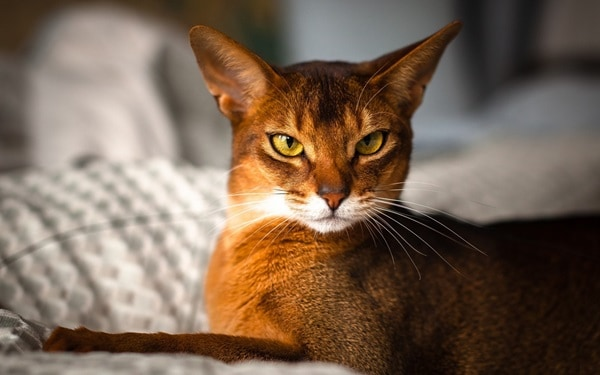 40 Super Cute Abyssinian Cats Pictures 10