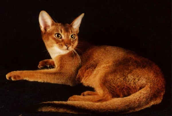 40 Super Cute Abyssinian Cats Pictures 11