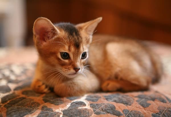 40 Super Cute Abyssinian Cats Pictures 12