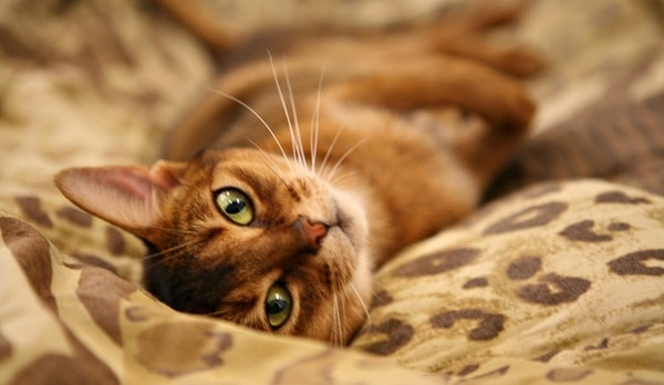 40 Super Cute Abyssinian Cats Pictures 13