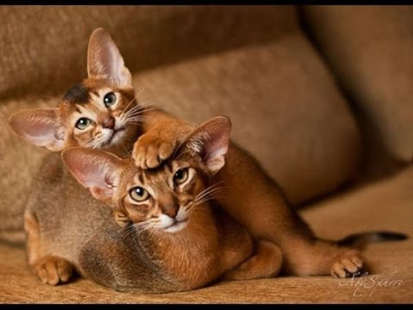 40 Super Cute Abyssinian Cats Pictures 14