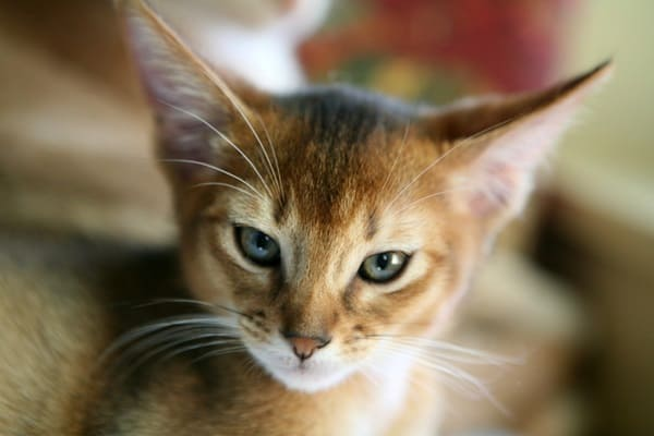 40 Super Cute Abyssinian Cats Pictures 15
