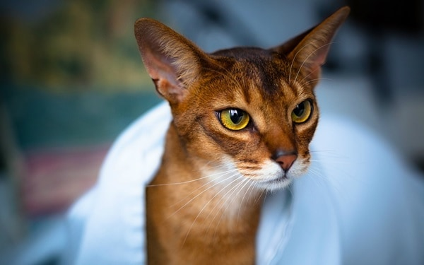 40 Super Cute Abyssinian Cats Pictures 16