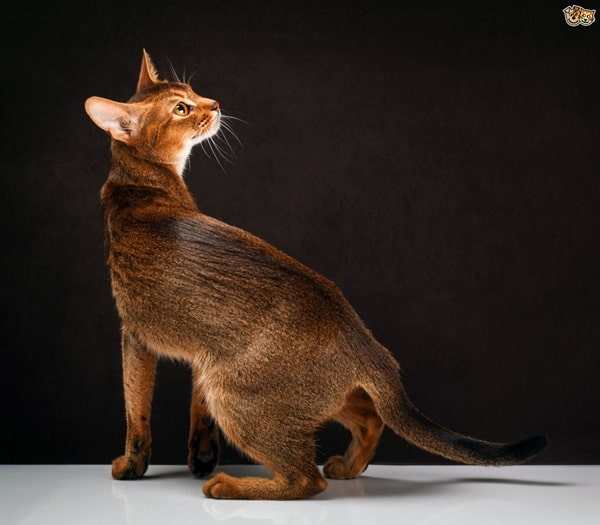 40 Super Cute Abyssinian Cats Pictures 17