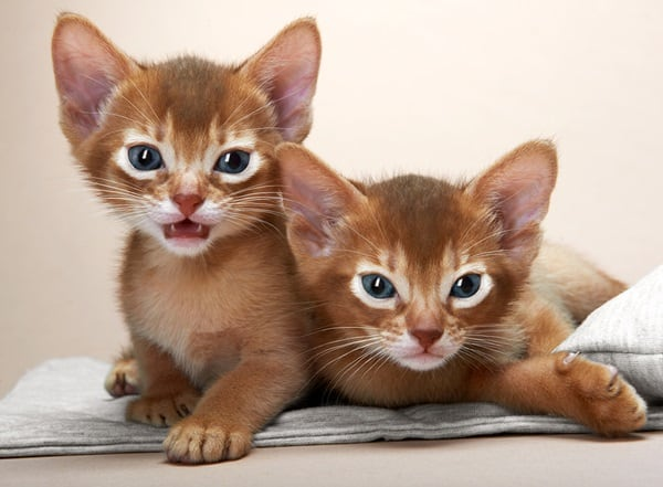 40 Super Cute Abyssinian Cats Pictures 18