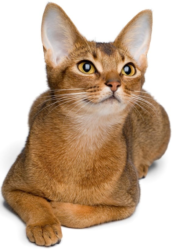 40 Super Cute Abyssinian Cats Pictures 19