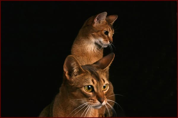 40 Super Cute Abyssinian Cats Pictures 20
