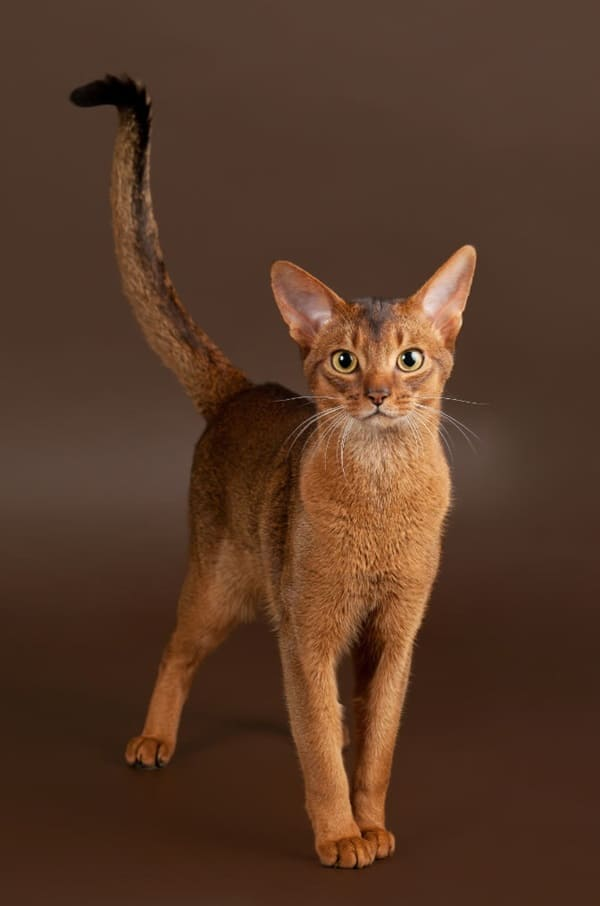 40 Super Cute Abyssinian Cats Pictures 21