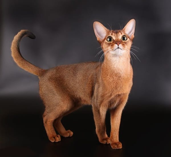 40 Super Cute Abyssinian Cats Pictures 22