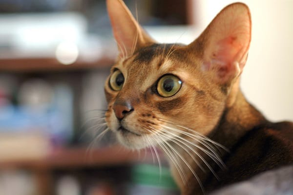 40 Super Cute Abyssinian Cats Pictures 24