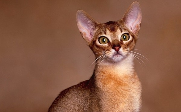40 Super Cute Abyssinian Cats Pictures 25