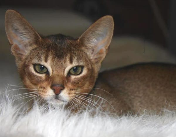 40 Super Cute Abyssinian Cats Pictures 26