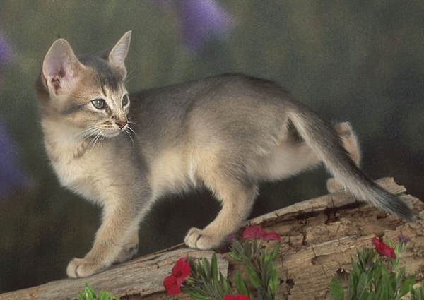 40 Super Cute Abyssinian Cats Pictures 28