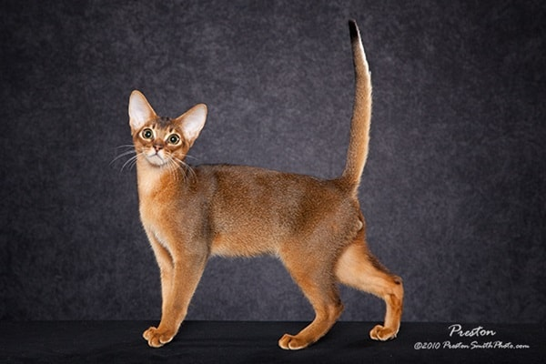 40 Super Cute Abyssinian Cats Pictures 30