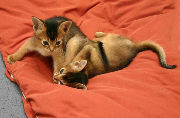 40 Super Cute Abyssinian Cats Pictures 31