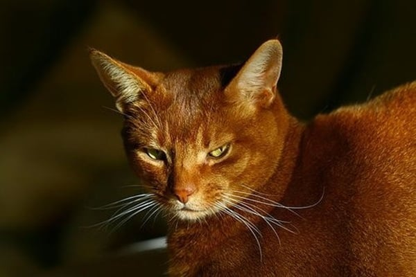 40 Super Cute Abyssinian Cats Pictures 36