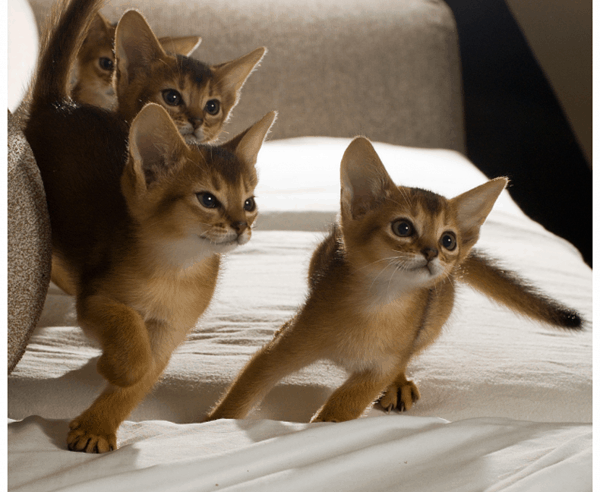 40 Super Cute Abyssinian Cats Pictures 38