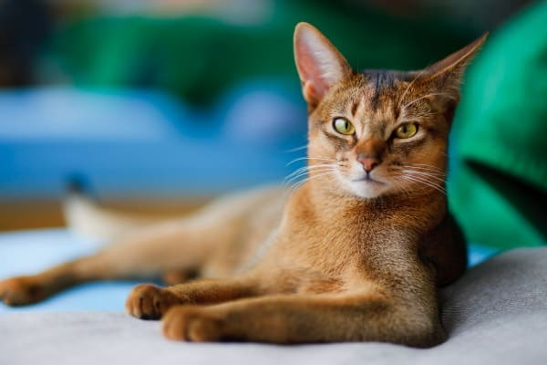 40 Super Cute Abyssinian Cats Pictures 39