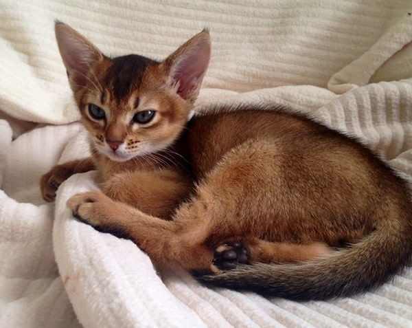 40 Super Cute Abyssinian Cats Pictures 40