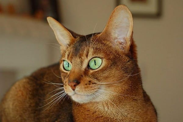 40 Super Cute Abyssinian Cats Pictures 8