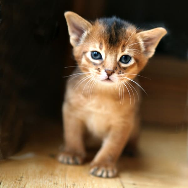 40 Super Cute Abyssinian Cats Pictures 9