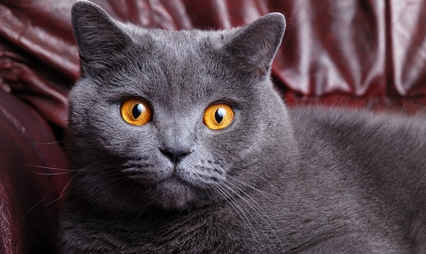 10 Most Expensive Cat Breeds in the World 10