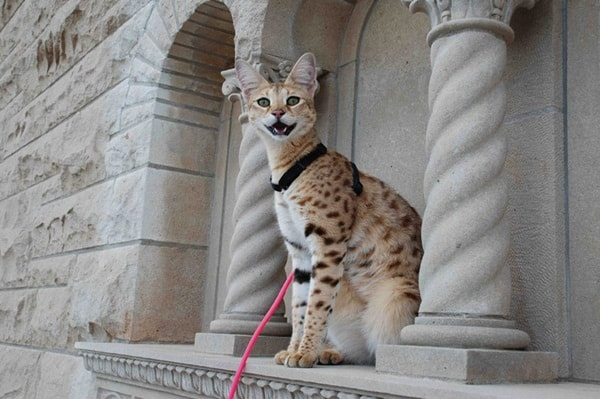 10 Most Expensive Cat Breeds in the World 2