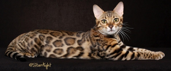 10 Most Expensive Cat Breeds in the World 3
