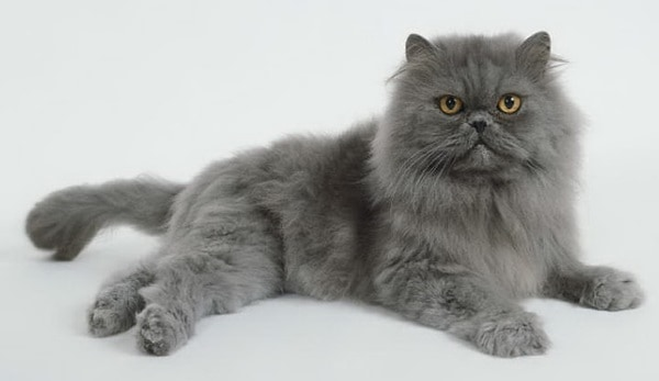 10 Most Expensive Cat Breeds in the World 5