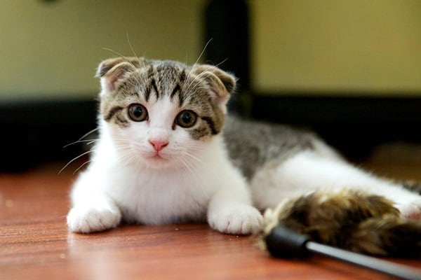 10 Most Expensive Cat Breeds in the World 9