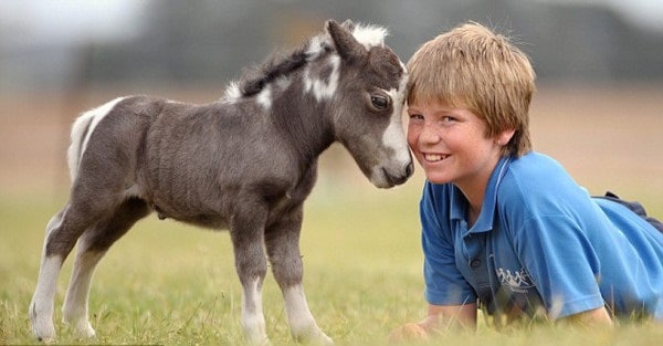 30 Cute Miniature Horses Picture 10