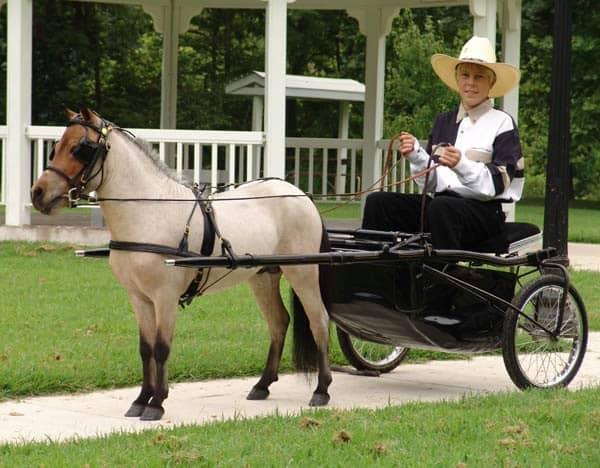 30 Cute Miniature Horses Picture 13