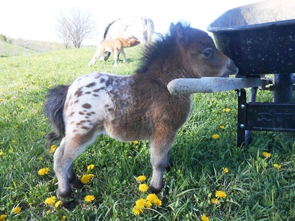 30 Cute Miniature Horses Picture 15