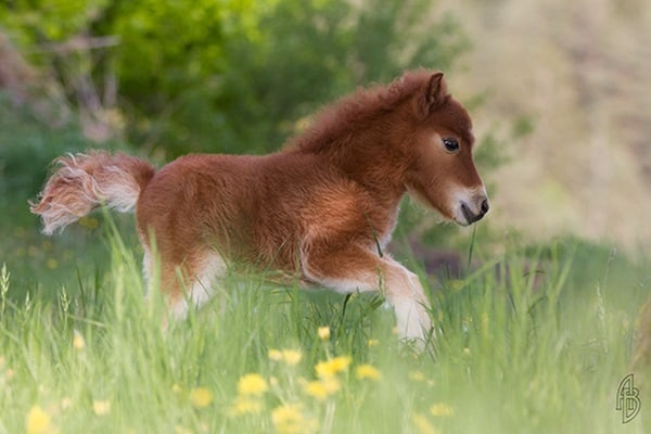 30 Cute Miniature Horses Picture 16