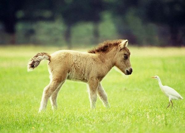 30 Cute Miniature Horses Picture 23