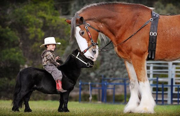 30 Cute Miniature Horses Picture 24