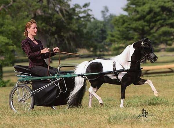 30 Cute Miniature Horses Picture 28