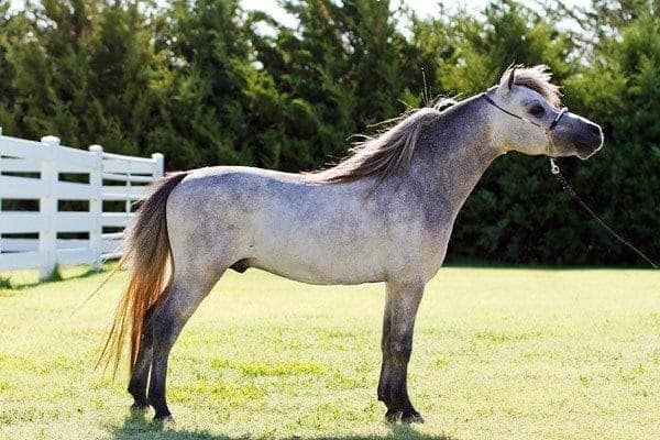 30 Cute Miniature Horses Picture 30