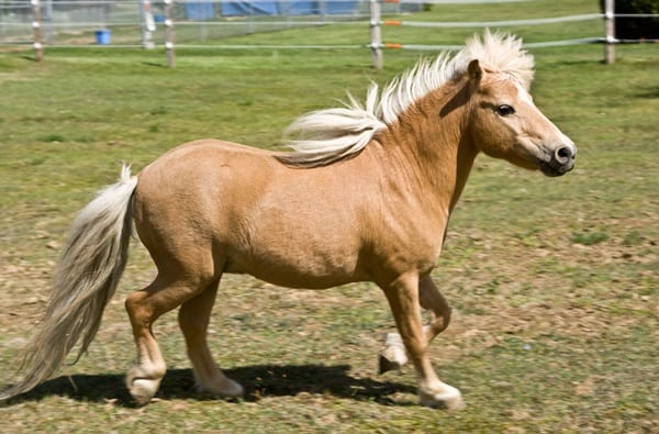 30 Cute Miniature Horses Picture 4