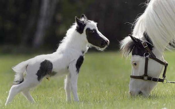 30 Cute Miniature Horses Picture 5