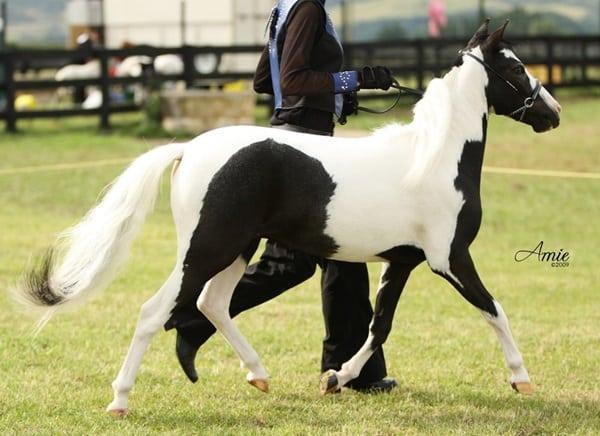 30 Cute Miniature Horses Picture 8
