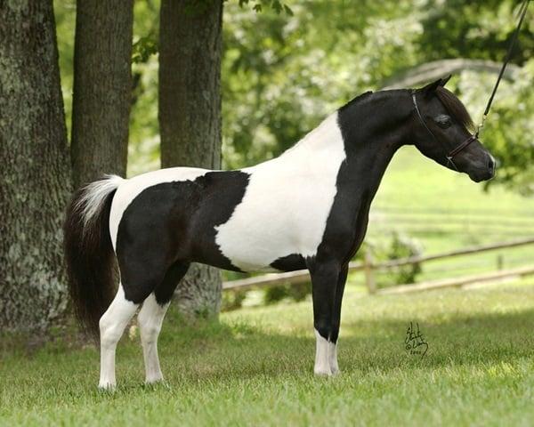 30 Cute Miniature Horses Picture 9