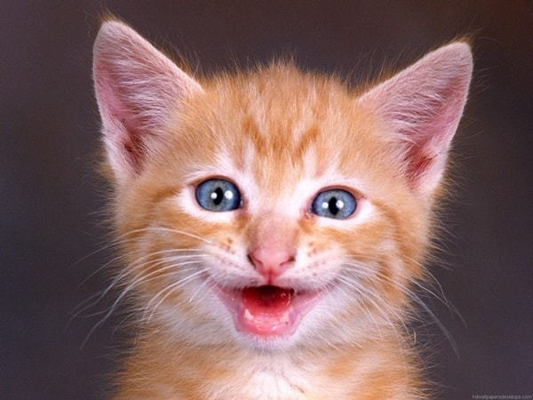 30 Cute Smiling Cat Pictures 16
