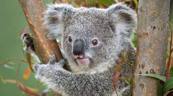 40 Amazing Koala Pictures 11